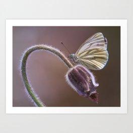 White butterfly on pasque flower Art Print