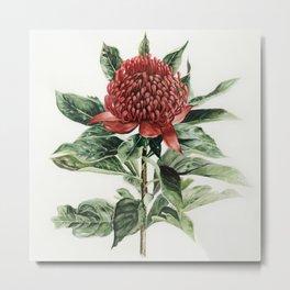 Waratah Flower Metal Print
