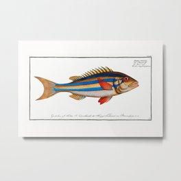 Marcus Elieser Bloch - Blue-striped Gilt-head Metal Print
