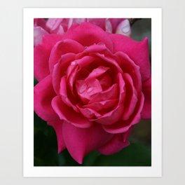 Roses in Rain Art Print