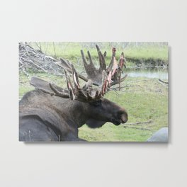 Alaskan Moose in velvet Metal Print