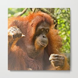 Animal ArtStudio 18516 Orang Utan Metal Print