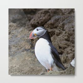 Watercolor Bird, Atlantic Puffins 13, Westman Islands, Iceland Metal Print