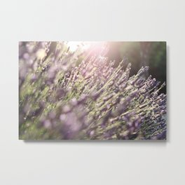 Lavender blossoms in France during late summer Metal Print