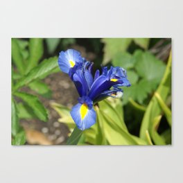 Blue Iris Flower - Blue, Yellow, Green Canvas Print