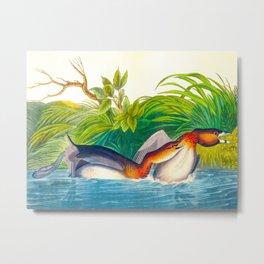 Pied-billed Duck Vintage Scientific Bird Illustration Metal Print