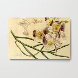 Papilionanthe teres (as syn. Vanda teres) Metal Print