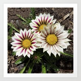 Zany Gazania - red and white stripes Art Print