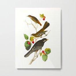 Little Tawny Thrush, Ptiliogony's Townsendi, Canada Jay Metal Print