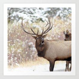 Watercolor Elk Bull 37, Estes Park, Colorado, Bob! Over Here! Art Print