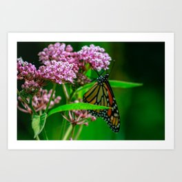 monarch butterfly close up on pink milkweed Art Print