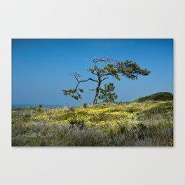 A Torrey Pine on the Cliffs at Torrey Pines State Natural Reserve Canvas Print