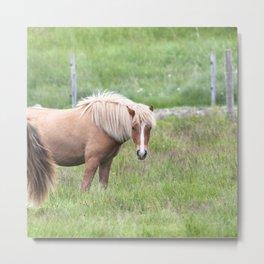 Watercolor Horse 37, Icelandic Pony, Höfn, Iceland, Blondette Metal Print
