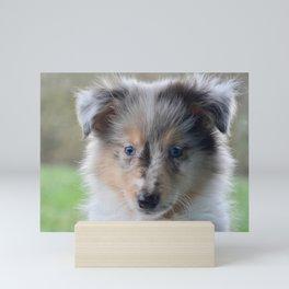 Blue-eyed Portrait of a Shetland Sheepdog Puppy Mini Art Print