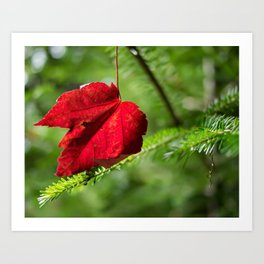 Red Leaf Macro // High Resolution Photograph in the Evergreen Trees Art Print
