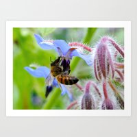 Honey Bee on Borage Art Print