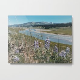 Lamar River Valley, Purple Flowers, Midday, Yellowstone National Park, Wyoming Metal Print
