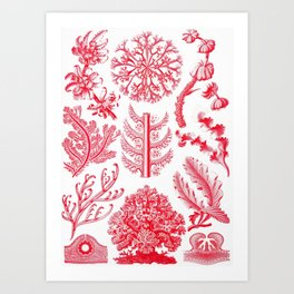 Ernst Haeckel Florideae Red Algae Art Print