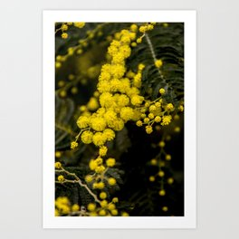 mimosa flower I Art Print