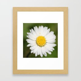 Closeup of a Beautiful Yellow and White Daisy flower Framed Art Print