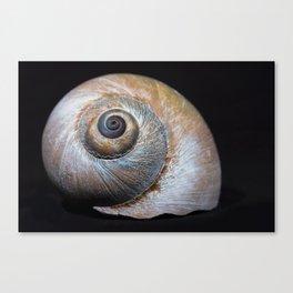 Moon snail sea shell 2863 Canvas Print