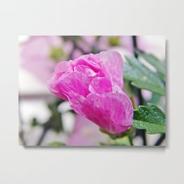 Pink Musk Mallow Rolled-up Metal Print