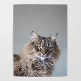 Royal Tom cat : Look into my eyes Poster