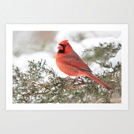 Regal Cardinal Art Print