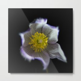 Night Crocus Metal Print
