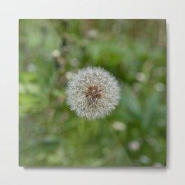 Shower head, infruttescence of the dandelion flower Metal Print