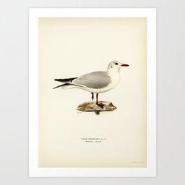 Black-headed gull (Larus Ridibundus) illustrated by the von Wright brothers. Art Print