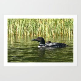 Mother and baby loon Art Print