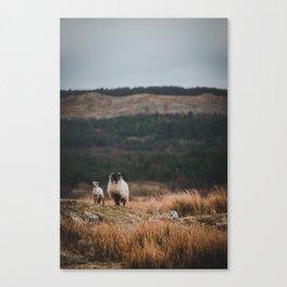 Sheeps at Connemara Canvas Print