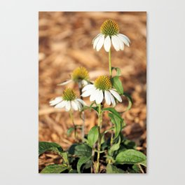 Last Of The Cone Flowers Canvas Print