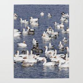 Snow Geese at Centennial Beach Poster