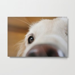Fluffy Tetriever Close up Metal Print