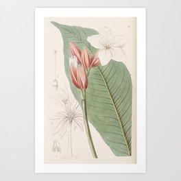 Flower 047 erythrochiton brasiliensis Brasilian Red coat26 Art Print