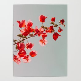Pink Bougainvilleas Poster