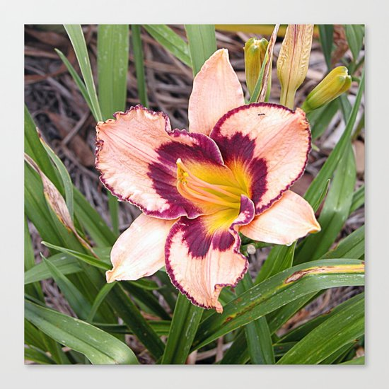 Pink daylily growing in Queensland Canvas Print