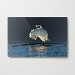 Trumpeter Swan Flapping Metal Print