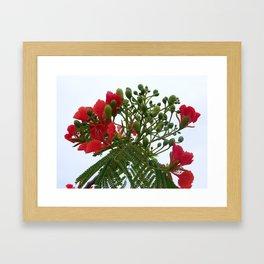 A Blossom from Haiti Framed Art Print