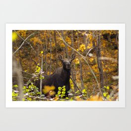 Bull Moose in Fall 2 Art Print