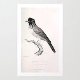 022 Greater Bulbul lanius emeria1 Art Print
