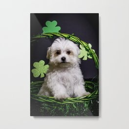 Fluffy White Maltese Puppy Standing in a Green St. Patrick's Day Basket with Shamrocks Metal Print