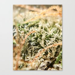 Diamond OG Indoor Hydroponic Close Up Trichomes Viewing Canvas Print