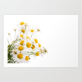 Many white flowerheads of chamomile bunch Art Print