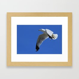 Ring-Billed Gull in Flight Framed Art Print
