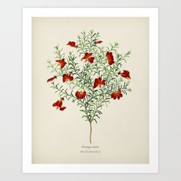 Red leschenaultia (Lechenaultia formosa) illustrated by Charles Dessalines D' Orbigny (1806-1876) 2 Art Print