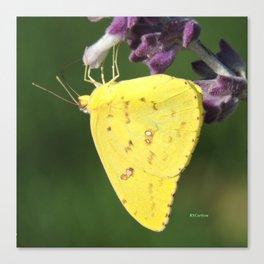Orange Sulphur Butterfly Canvas Print