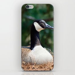 Nesting Canadian Goose iPhone Skin